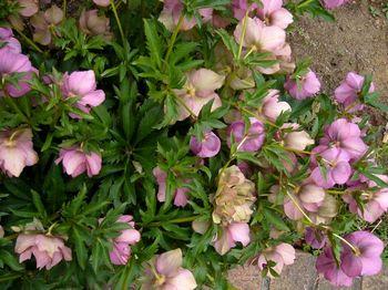 2019.3庭の花10.jpg